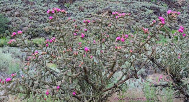 Cholla cactus, alongside the Rio Grande in northern New Mexico