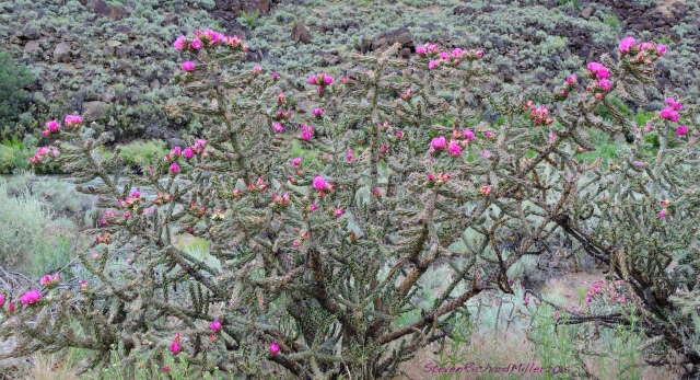Cholla cactus, alongside the Rio Grande in northern New Mexico