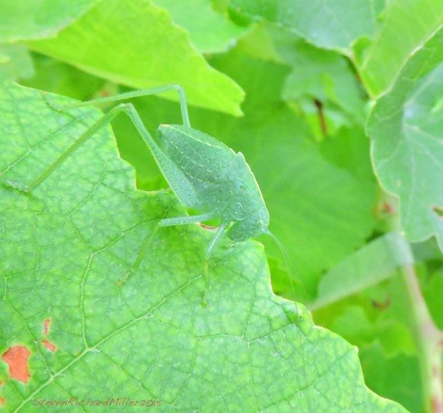 Green on green. A katydid on grape leaves.