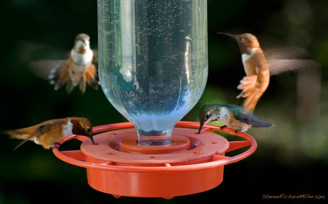 Rufous hummingbird foursome