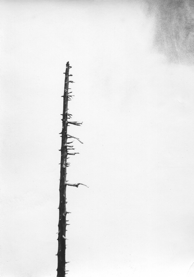Dead tree in fog