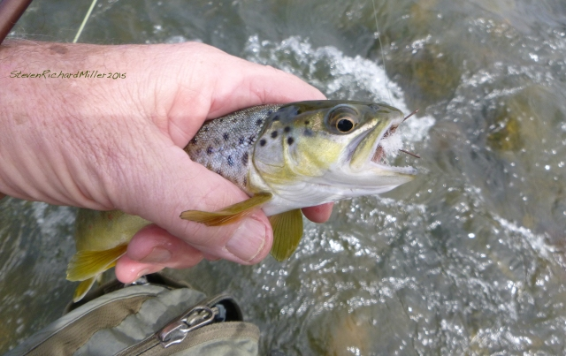 Brown trout, caught on a Madam X, Pilar, Sept. 2015