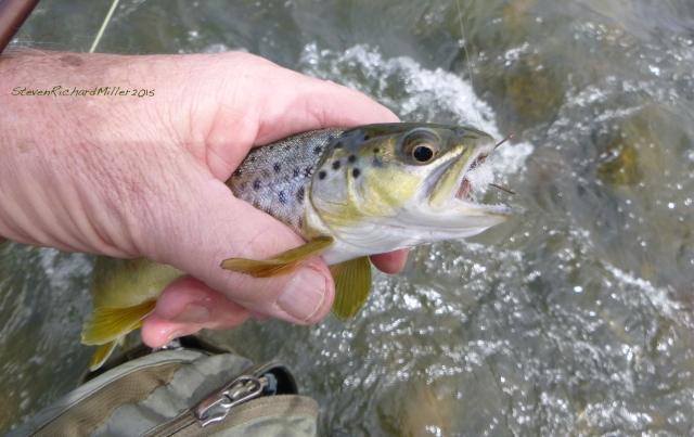 Brown trout, caught on a Madam X, Pilar, Sept. 2015