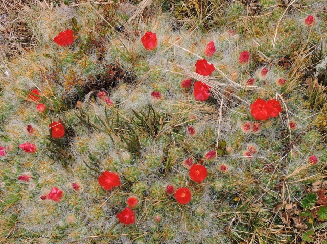 This flowering cactus looks somewhat like our southwestern claret cup