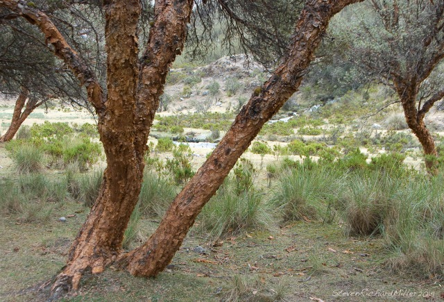 Polylepis tree