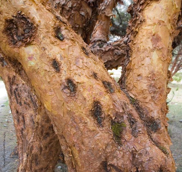 Polylepis tree bark detail