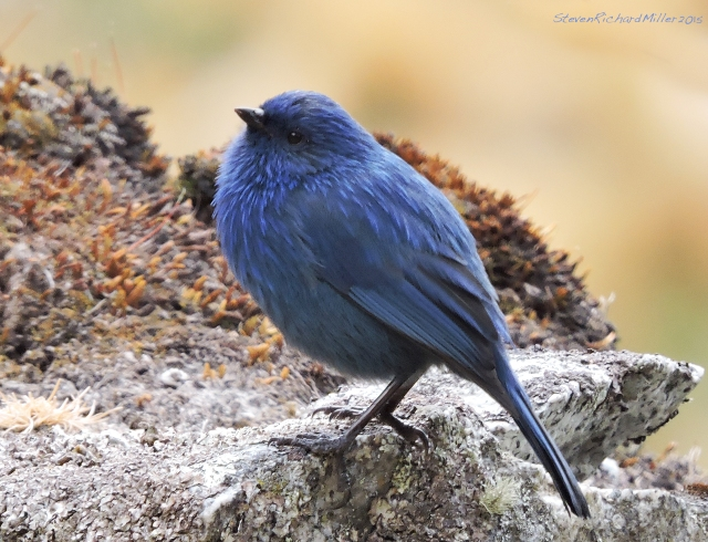 Blue-blackTanager_SCN2499
