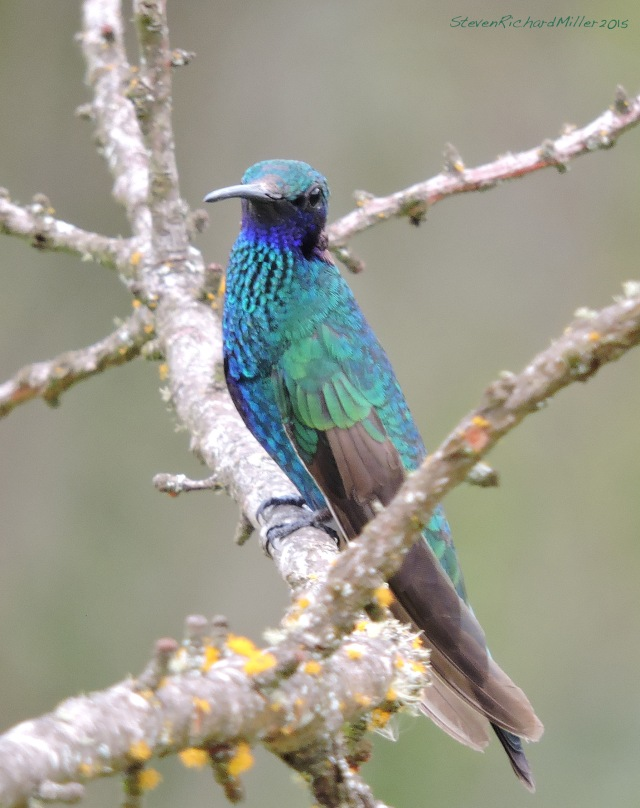 Sparkling Violetear hummingbird, at Gocta Andes Lodge