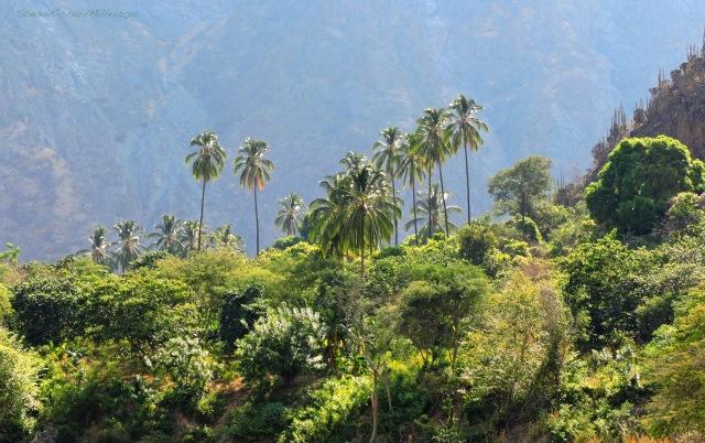 San Lucas palm trees