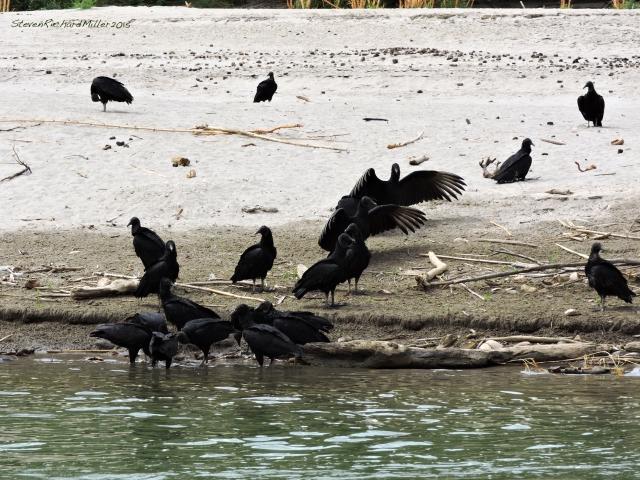 Blavk vultures