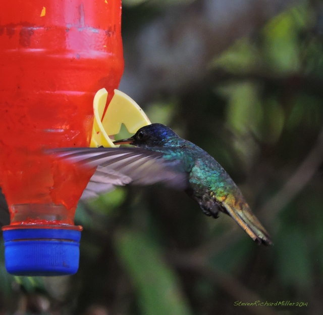Golden-tailed Sapphire hummingbirds