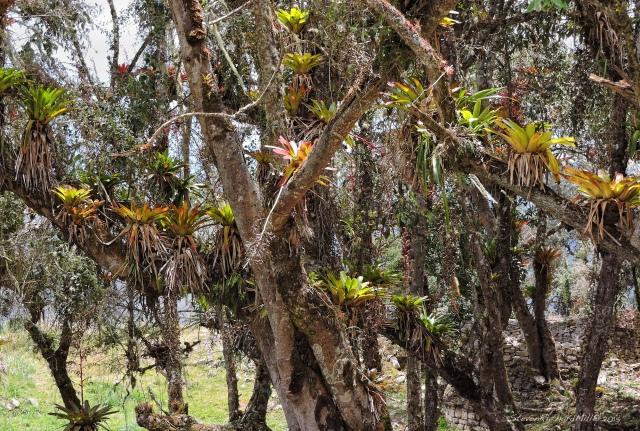 10. Bromeliads Oct302015_8312