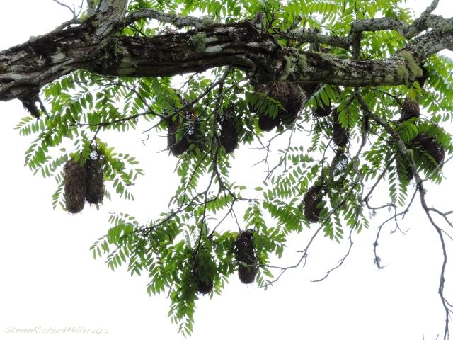Oropendula nests, species unknown