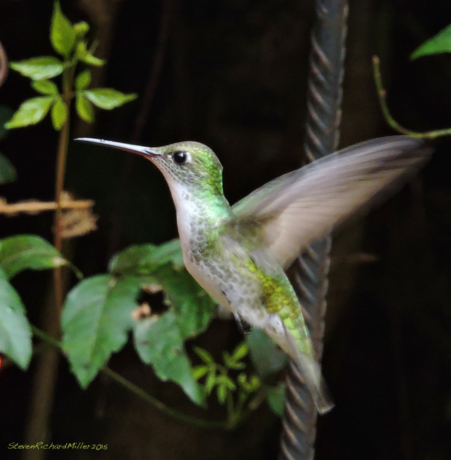15. White-belliedHummer Oct302015_8127