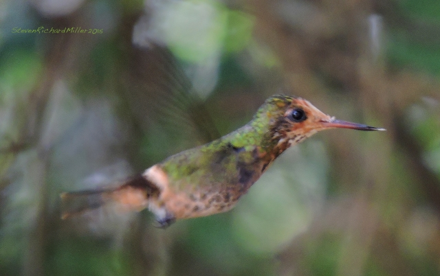 Rufous-crested Coquette female