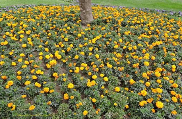 20. ParkMarigolds Nov052015_7734