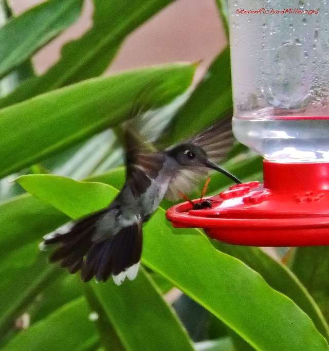 Gray-breasted Sabrewing hummingbird