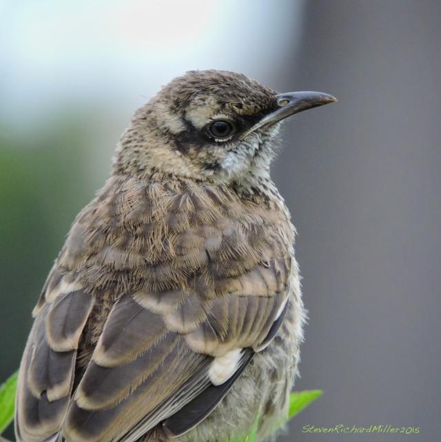 32. Long-tailed mockingbird Nov052015_7763