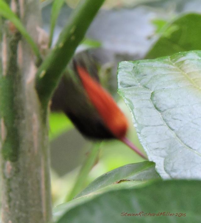 Rufous-crested Coquette male