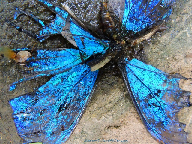 40. MorphoButterfly Nov022015_8007
