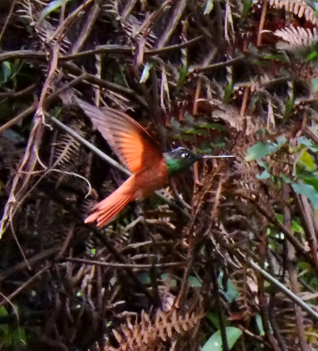 I tentatively ID this guy as a Rainbow Starfrontlet hummingbird