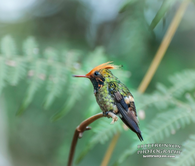 The male Rufous-crested Coquette humminbird