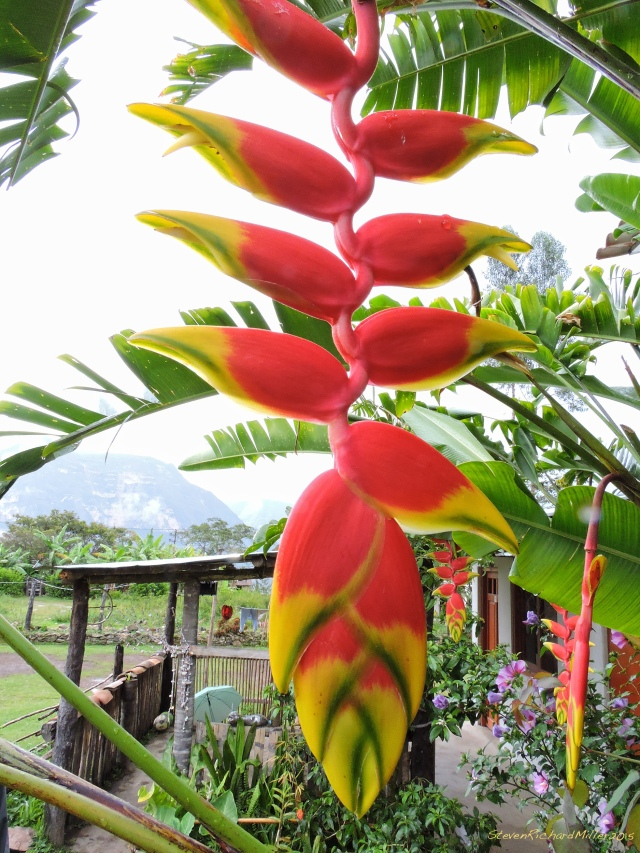 Heliconia, at a hostal/craft shop in the village