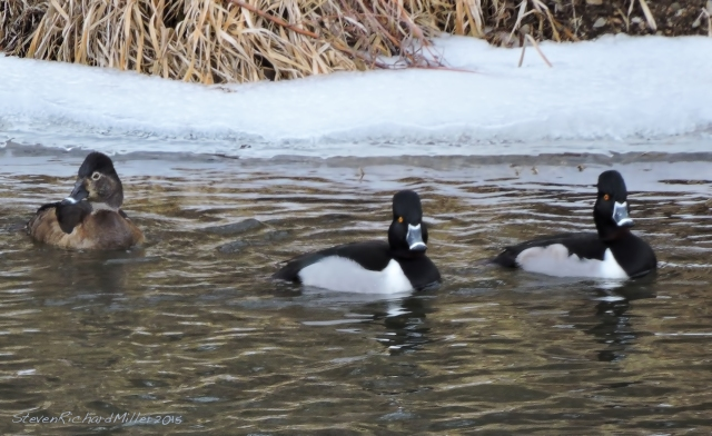 Female and two male ring-necked ducks