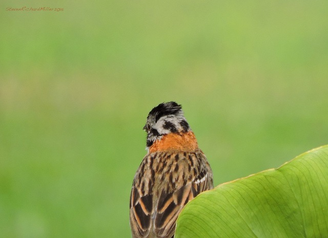 This rear view shows off the collar of the Rufous-collared sparrow
