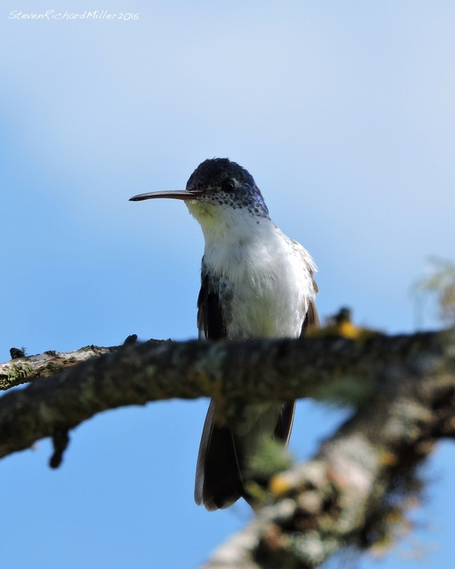 White-bellied hummingbird