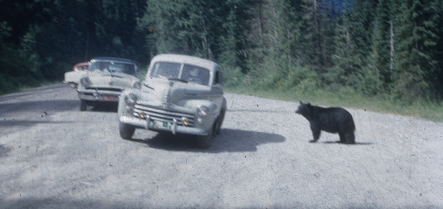 Yellowstone. Black bear