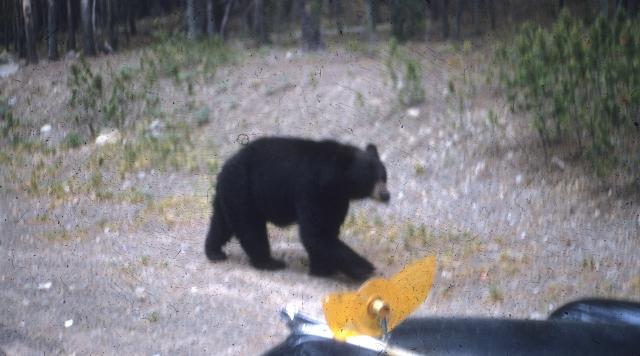 Yellowstone. Black bear