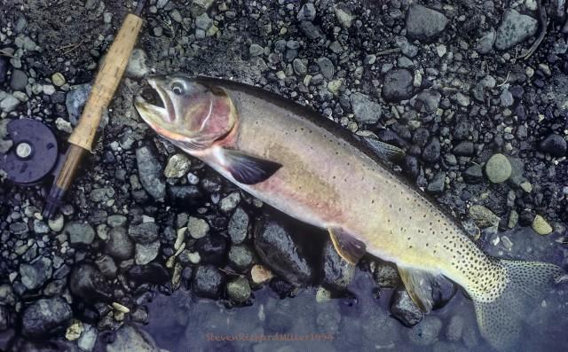 Yellowstone cutthroat trout, Yellowstone River, 1995