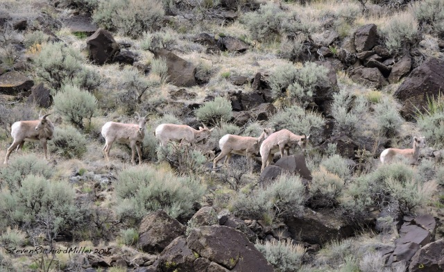 Bighorn ewes and young, in the Orilla Verde section of the Rio Grande del Norte National Monument