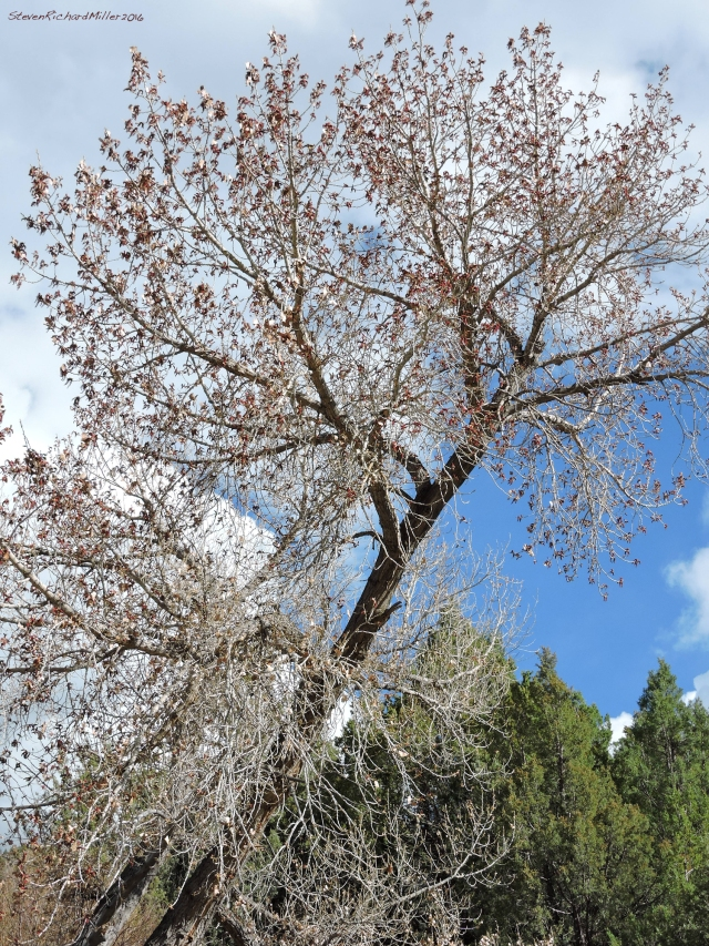 Cottonwood tree, with catkins, next to the spring