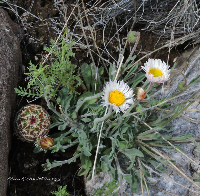 Fleabane and Green Hedgehog, close to blooming