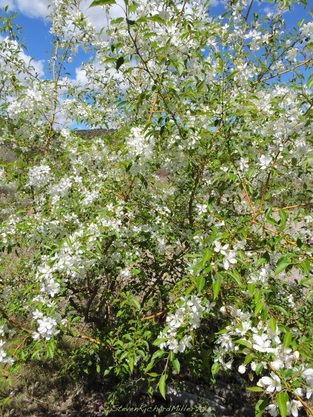 Manchurian Crab Apple tree