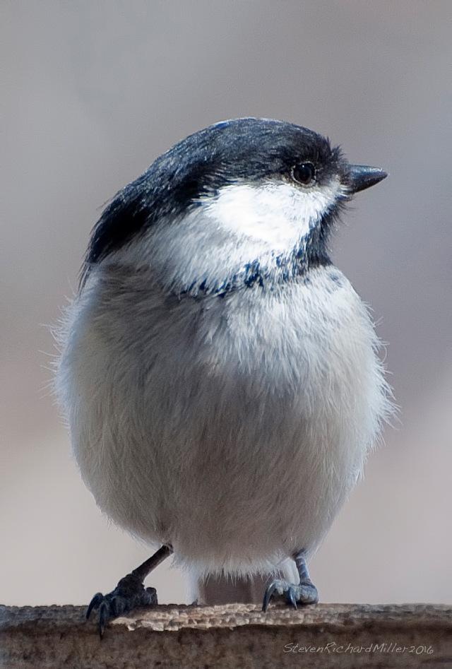 Black-capped chickadee. The sexes look alike