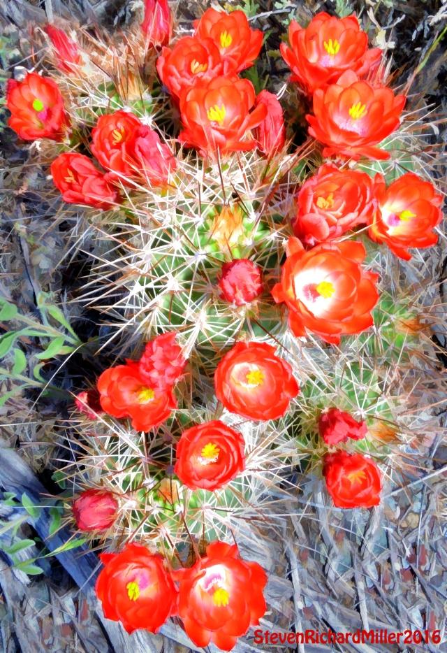 Claretcup hedgehog cactus