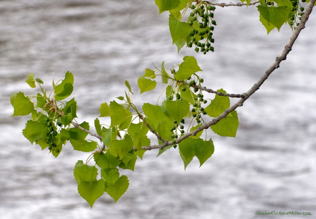 Cottonwood leaves and developing seeds, with the river beyond