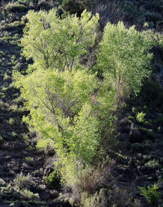Hillside cottonwood grove watered by a spring