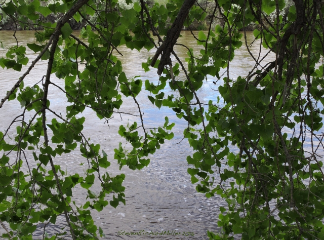 Cottonwood limb hangs over the river