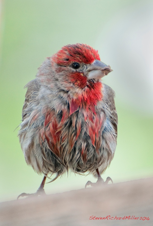 Hey, my colors are running! A wet male House finch - maybe a baby.