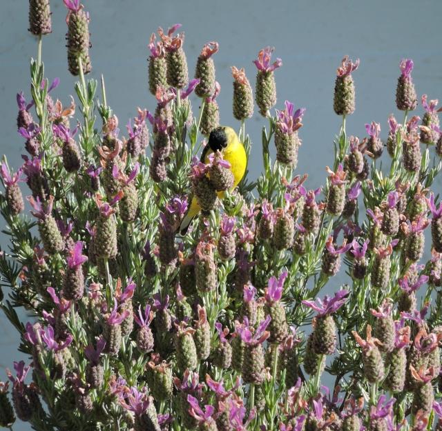 Lesser goldfinch in verbena