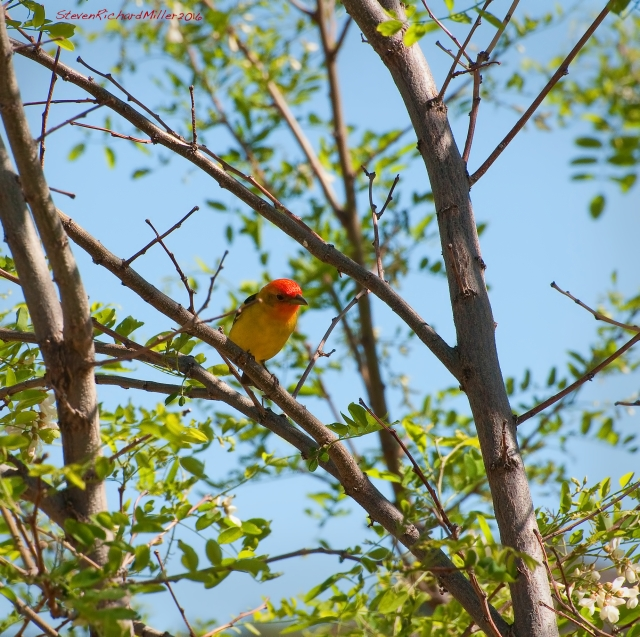 A Western tanager in the blooming locust trees