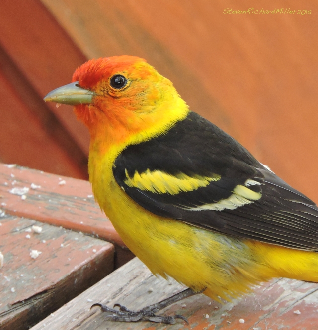 Western tanager. The sexes look alike.