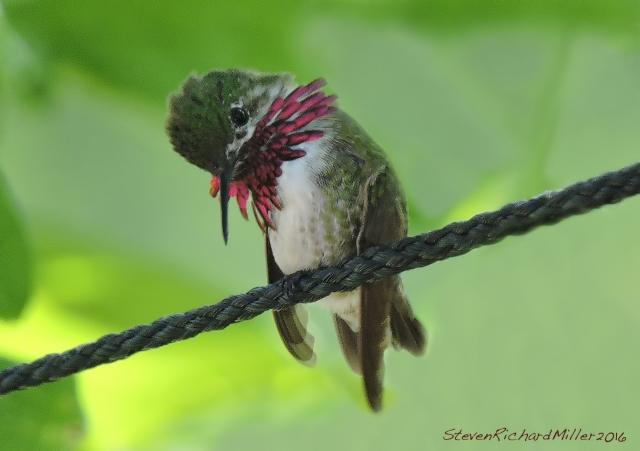 Calliope hummingbird male, preening