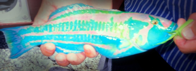 and this Christmas wrasse (named for the island?), which may be the most psychedelically-colored fish I've ever seen. Sorry that it is out-of-focus, but you can still see what a fantastic fish it is,