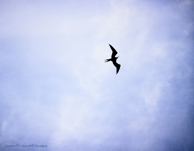 The frigatebird gets my vote for most elegant in flight