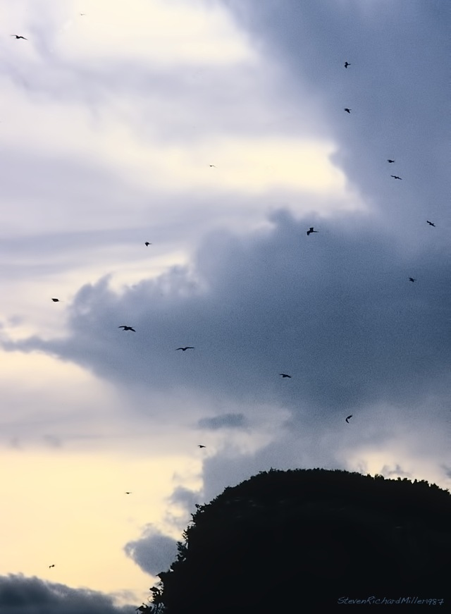 Frigatebirds-Edit